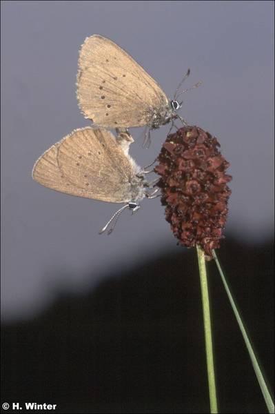 Wiesenknopf-Ameisenbläuling – ein ganz besonderer Schmetterling